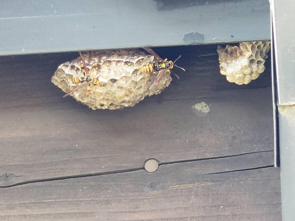 アシナガバチの巣 退治