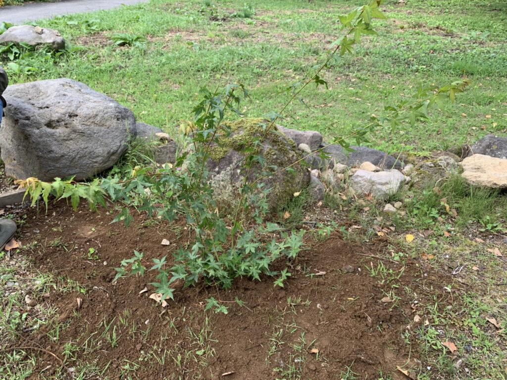 紅葉の木 移植
